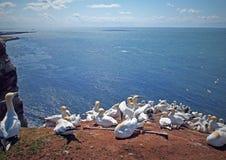 αποικία gannet βόρεια Στοκ Φωτογραφία
