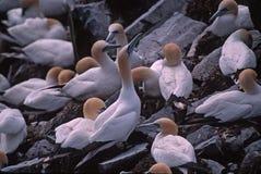 αποικία gannet Στοκ φωτογραφία με δικαίωμα ελεύθερης χρήσης