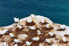 αποικία gannet Στοκ Εικόνα