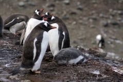 Αποικία Gentoo penguin με έναν νεοσσό στην Ανταρκτική στοκ φωτογραφία με δικαίωμα ελεύθερης χρήσης