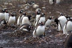 Αποικία Gentoo penguin με τις φωλιές χαλικιών στην Ανταρκτική στοκ εικόνες με δικαίωμα ελεύθερης χρήσης