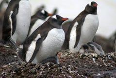 Αποικία Gentoo penguin με τους νεοσσούς στην Ανταρκτική στοκ εικόνα με δικαίωμα ελεύθερης χρήσης