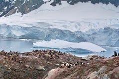 Αποικία Gentoo penguin σε έναν λόφο, μπροστά από έναν παγετώνα Στοκ Εικόνες