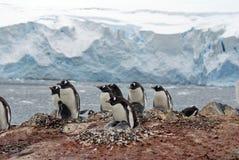 Αποικία Gentoo penguin σε έναν λόφο, μπροστά από έναν παγετώνα Στοκ εικόνα με δικαίωμα ελεύθερης χρήσης
