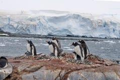 Αποικία Gentoo penguin σε έναν λόφο, μπροστά από έναν παγετώνα Στοκ εικόνες με δικαίωμα ελεύθερης χρήσης