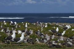 Αποικία Kelp του γλάρου στο νησί λιονταριών θάλασσας στοκ φωτογραφίες