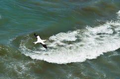Αποικία Muriwai gannet - Νέα Ζηλανδία Στοκ Φωτογραφία