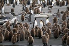 Αποικία Penguin βασιλιάδων Στοκ Εικόνες