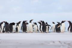 Αποικία Penguin Gentoo (Pygoscelis Παπούα) στην άμμο Νησιά Φόλκλαντ Ι Στοκ φωτογραφία με δικαίωμα ελεύθερης χρήσης