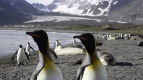 Αποικία Penguins βασιλιάδων απόθεμα βίντεο