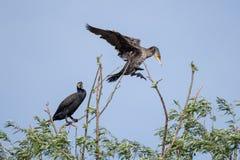 Αποικίες κορμοράνων στο δέλτα Δούναβη, προσοχή πουλιών άγριας φύσης της Ρουμανίας στοκ εικόνα με δικαίωμα ελεύθερης χρήσης