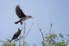 Αποικίες κορμοράνων στο δέλτα Δούναβη, προσοχή πουλιών άγριας φύσης της Ρουμανίας στοκ εικόνα