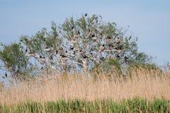 Αποικίες κορμοράνων στο δέλτα Δούναβη, προσοχή πουλιών άγριας φύσης της Ρουμανίας στοκ φωτογραφίες με δικαίωμα ελεύθερης χρήσης