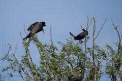 Αποικίες κορμοράνων στο δέλτα Δούναβη, προσοχή πουλιών άγριας φύσης της Ρουμανίας στοκ φωτογραφία με δικαίωμα ελεύθερης χρήσης