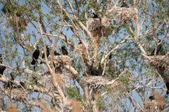 Αποικίες κορμοράνων στο δέλτα Δούναβη, προσοχή πουλιών άγριας φύσης της Ρουμανίας στοκ εικόνες