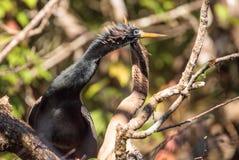 Αποκαλούμενο Anhinga πουλί anhinga φλερταρίσματος Anhingas Στοκ εικόνα με δικαίωμα ελεύθερης χρήσης