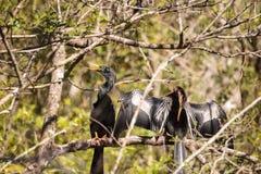 Αποκαλούμενο Anhinga πουλί anhinga φλερταρίσματος Anhingas Στοκ Εικόνες