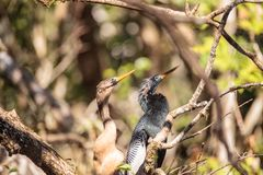 Αποκαλούμενο Anhinga πουλί anhinga φλερταρίσματος Anhingas Στοκ φωτογραφίες με δικαίωμα ελεύθερης χρήσης