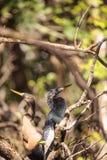Αποκαλούμενο Anhinga πουλί anhinga φλερταρίσματος Anhingas Στοκ φωτογραφία με δικαίωμα ελεύθερης χρήσης