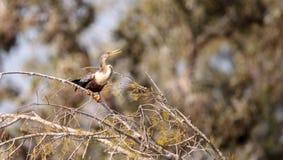 Αποκαλούμενο anhinga Anhinga Anhinga πουλί Στοκ εικόνα με δικαίωμα ελεύθερης χρήσης