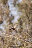 Αποκαλούμενο anhinga Anhinga Anhinga πουλί Στοκ φωτογραφία με δικαίωμα ελεύθερης χρήσης