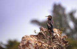 Αποκαλούμενο anhinga Anhinga Anhinga πουλί Στοκ Εικόνες