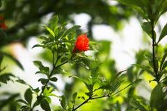 αποκλειστικά λουλούδια megranate Στοκ Φωτογραφία
