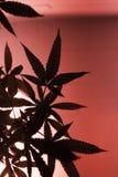 Αποκορεσμένη ρόδινη ελαφριά σκιαγραφία μαριχουάνα Στοκ Φωτογραφία