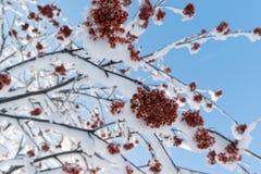 Αποκλεισμένοι από τα χιόνια κλάδοι σορβιών με τις δέσμες του κόκκινου μούρου στοκ φωτογραφία με δικαίωμα ελεύθερης χρήσης