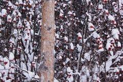 Αποκλεισμένοι από τα χιόνια κλάδοι του ashberry και μεγάλου πεύκου στοκ εικόνες