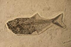 Απολίθωμα ψαριών θάλασσας Στοκ Εικόνα