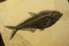 Απολίθωμα ψαριών θάλασσας Στοκ φωτογραφίες με δικαίωμα ελεύθερης χρήσης