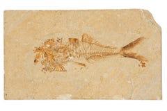 απολίθωμα ψαριών Στοκ Εικόνες