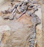 Απολιθωμένα κόκκαλα Hadrosaur Αλμπέρτα Καναδάς στοκ φωτογραφίες με δικαίωμα ελεύθερης χρήσης
