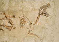 απολιθώματα δεινοσαύρω&n Στοκ Φωτογραφίες