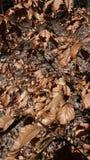 Απολύτως ξεράνετε τα στριμμένα καφετιά φύλλα στους κλάδους Στοκ εικόνες με δικαίωμα ελεύθερης χρήσης