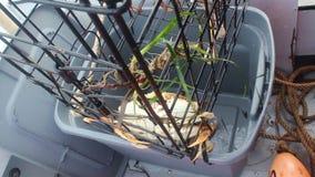 Απομάκρυνση των καβουριών Dungeness από την παγίδα απόθεμα βίντεο