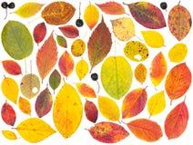 Απομονωμένα ζωηρόχρωμα φύλλα και μούρα δέντρων Στοκ φωτογραφία με δικαίωμα ελεύθερης χρήσης