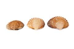 απομονωμένα θαλασσινά κοχύλια Στοκ εικόνες με δικαίωμα ελεύθερης χρήσης