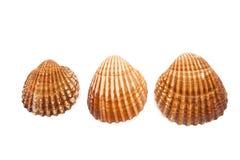 απομονωμένα θαλασσινά κοχύλια Στοκ φωτογραφία με δικαίωμα ελεύθερης χρήσης