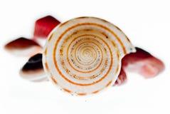 απομονωμένα κοχύλια θάλα&s Στοκ Εικόνα