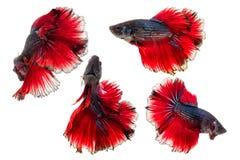 Απομονωμένα μισά ψάρια betta φεγγαριών Στοκ Εικόνες