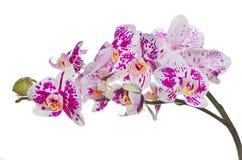 Απομονωμένα ορχιδέα λουλούδια με τα μεγάλα ρόδινα σημεία Στοκ εικόνα με δικαίωμα ελεύθερης χρήσης
