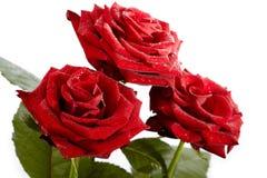 απομονωμένα τριαντάφυλλ&alpha Στοκ Φωτογραφία