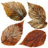 Απομονωμένα υγρά φύλλα σμέουρων καθορισμένα Στοκ Φωτογραφίες