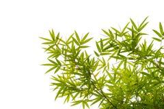 Απομονωμένα φύλλα μπαμπού στο άσπρο υπόβαθρο Στοκ Φωτογραφία