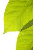 απομονωμένα φύλλα πέρα από το λευκό Στοκ Φωτογραφία