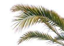 Απομονωμένα φύλλα φοινικών Στοκ εικόνα με δικαίωμα ελεύθερης χρήσης