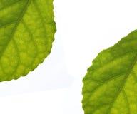απομονωμένα φύλλα Στοκ Εικόνες