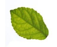 απομονωμένα φύλλα Στοκ Φωτογραφίες
